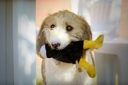 Portrait of a Griffon dog carrying a stuffed animal in its mouth