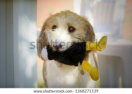 0d9a45511 Portrait of a Griffon dog carrying a stuffed animal in its mouth