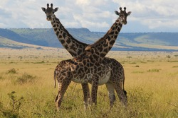 Portrait of a pair of giraffes, the female is pregnant, stands with crossed necks in the vast landscape of the Masai mara