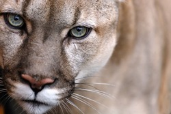 Portrait of a puma. Canadian Cougar