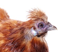 portrait of a silky red hen on a white isolated studio background