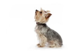 portrait of a young dwarf yorkshire terrier breed dog on white isolated studio background