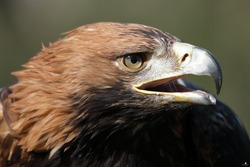 Portrait of an adult male Imperial Eagle in the wild