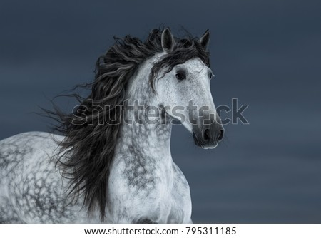 Portrait of gray long-maned Andalusian Horse in motion on dark cloud sky.