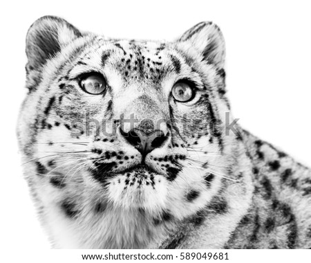3/4 Portrait of Snow Leopard in Snow #589049681