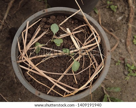 Potted plants planted with saplings