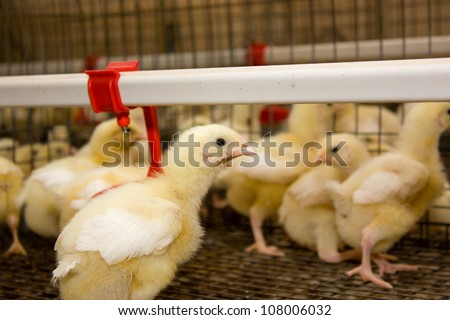 Poultry farm.Chicken broilers