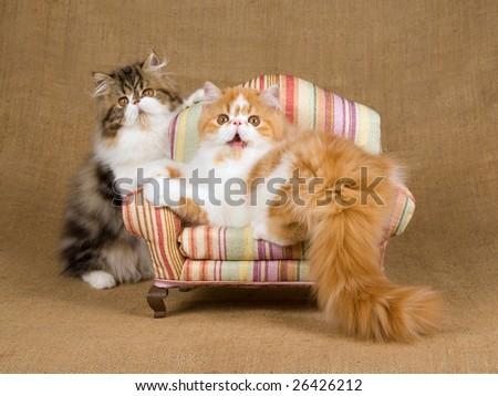 Kucing Persia Lucu dan Imut