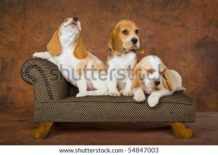 3 Pretty Beagle puppies on miniature sofa couch chaise brown background - stock photo