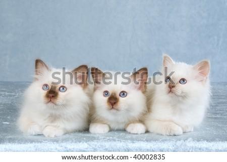 3 Pretty Birman kittens on silver light blue background fabric