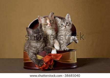 3 Pretty LaPerm kittens inside round gift box, on bronze background