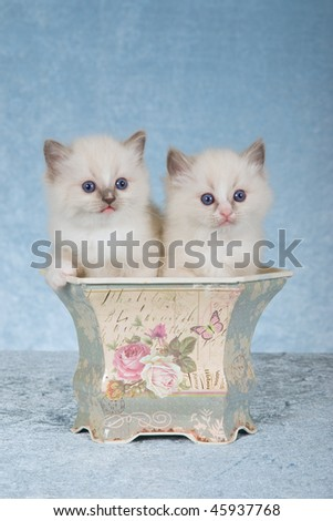 2 Pretty Ragdoll kittens in Victorian planter on blue background