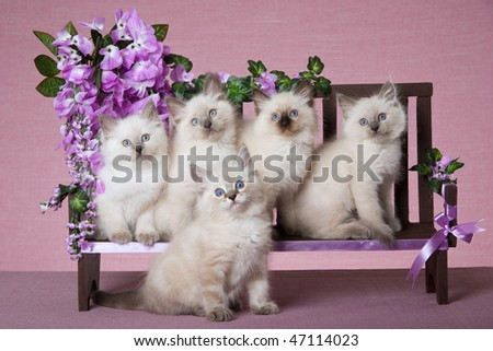 5 Pretty Ragdoll kittens on mini wooden bench with purple flowers