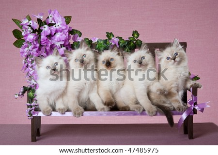 5 Pretty Ragdoll kittens on mini wooden bench with purple lilac flowers