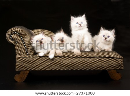 4 pretty Ragdoll kittens on miniature brown chaise couch sofa on black background
