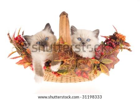 2 Pretty Ragdoll kitte...