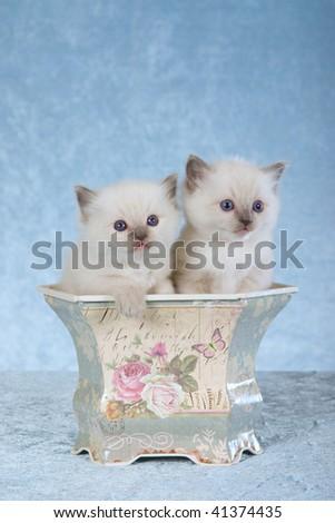 2 Pretty Ragdoll kittens sitting inside vintage Victorian planter on light blue fabric background