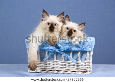 2 Pretty Ragdoll kittens sitting inside white woven basket blue blue lining, on blue background