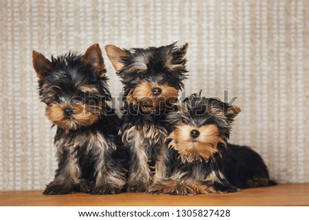 3 Pretty Yorkie on miniature couch sofa on gold background