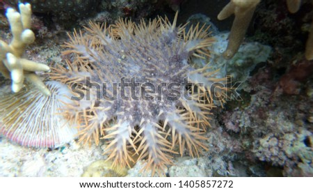 prickly starfish in the form of a multi-legged star on the bottom of the sea among the corals. #1405857272