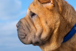 Profile of a Shar Pei puppy close-up on a blue background.