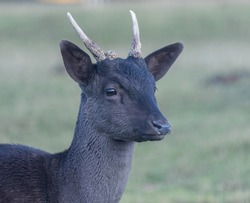 Protrait of a young fallow deer. Protrait of a young fallow deer with two antler rods.