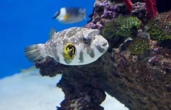 Puffer Fish (Tropical Fish) This fish lives in the Indian and Pacific oceans.