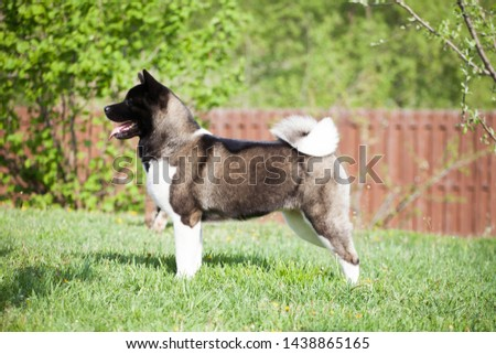 puppies of american akita  in grass #1438865165