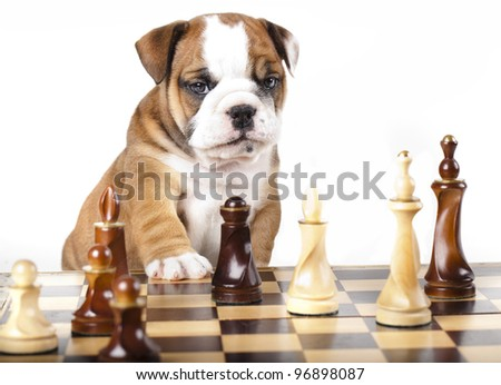 Puppy english Bulldog and chess piece