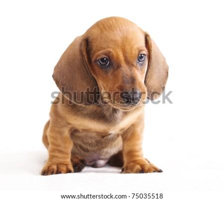 puppy purebred  dachshund