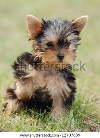 Yorkshire Terrier Puppies on Puppy Yorkshire Terrier Stock Photo 12707689   Shutterstock