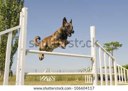 purebred belgian sheepdgog malinois in a training of agility