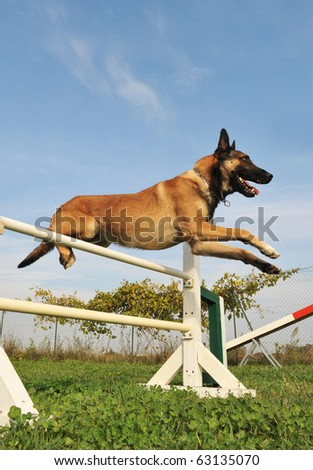 purebred belgian sheepdog malinois in a training of agility