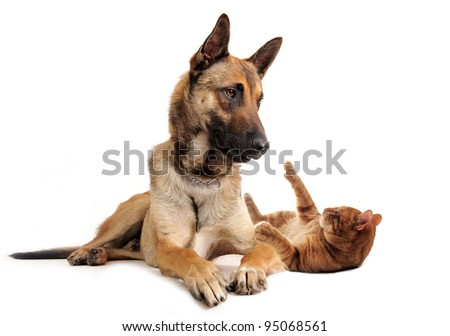 purebred belgian sheepdog malinoisand ginger cat on a white background