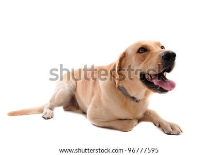 purebred  labrador retriever in front of a white background - stock photo