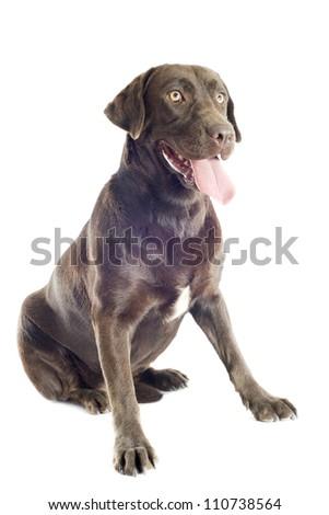 purebred  labrador retriever in front of white background