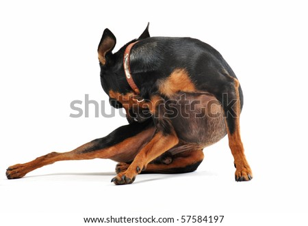 purebred miniature pinscher scratching on a white background