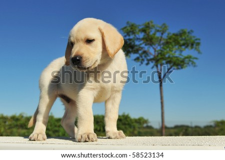 purebred puppy labrador retriever six weeks old