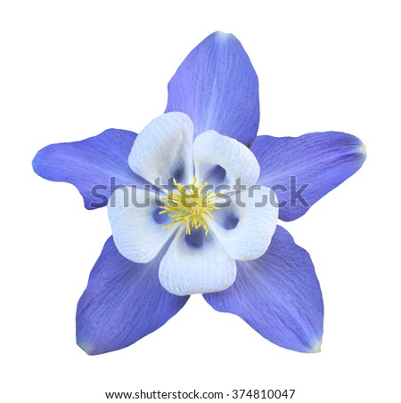 purple aquilegia flower...