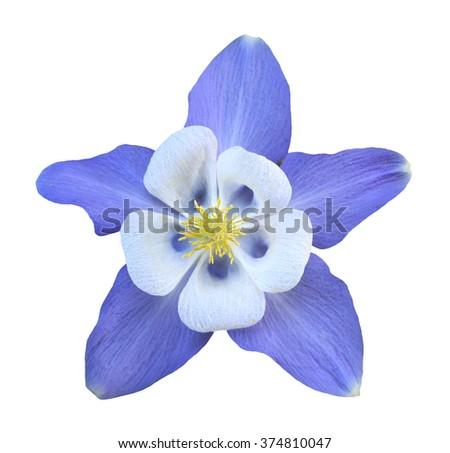 purple aquilegia flower...