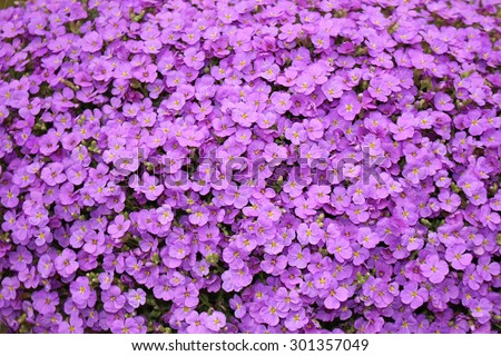 stock-photo--purple-aubrieta-flowers-or-...357049.jpg