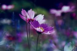 Purple cosmea (cosmos bipinnatus) flowers.