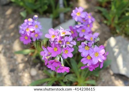 Purple 'New Mexico Primrose' (or Sandia Mountain Primrose, Ellis' Primrose) flowers in St. Gallen, Switzerland. Its scientific name is Primula Ellisiae Pollard & Cockerell, native to New Mexico. Imagine de stoc ©