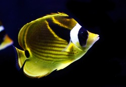 raccoon butterflyfish, also known as the crescent-masked butterflyfish, lunule butterflyfish, moon butterflyfish  (Chaetodon lunula)