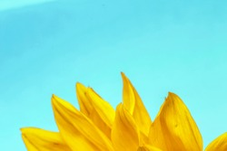 radiant warmth on a blue background sunflowers close up are the happiest of all  flowers and their meanings include loyalty and longevity/bright sunflower close up on a blue background/sunshine bliss