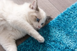 Rag doll kitten with blue eyes