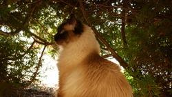 Ragdoll cat in autumn weather