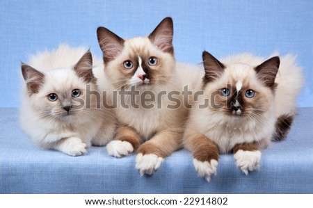 3 Ragdoll kittens in a row on blue background