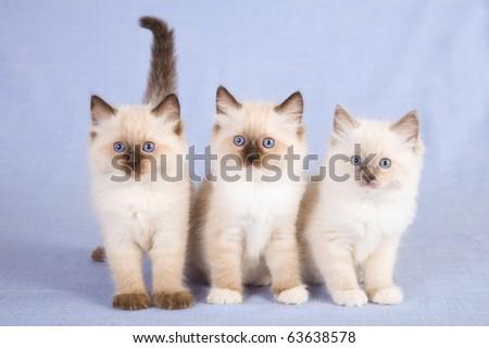 3 Ragdoll kittens on blue background