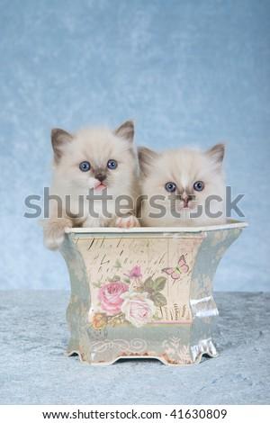 2 Ragdoll kittens sitting inside vintage bin on blue background